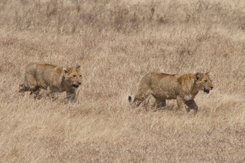African Safaris Big Five - Lions, Elephant, Rhinoceros, Buffalo, Leopard